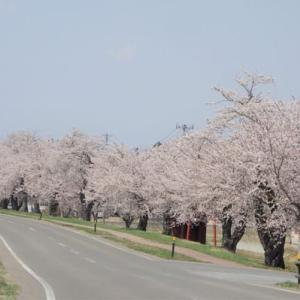 2021 春6 雄物川堤防沿いの桜