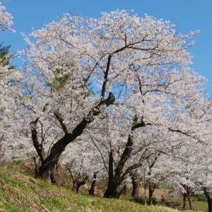 2021春7 前森公園の桜