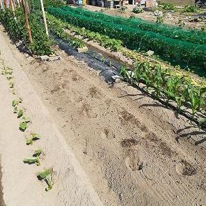 脇芽ミニトマト苗、2回目キュウリ、夏キャベツを定植