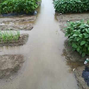 大雨で倒れたトウモロコシ、枝豆を応急処置