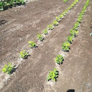 コイモの脇芽を取り除き、施肥土寄せ