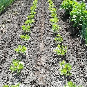 黒豆、肴豆を土寄せ