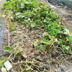 カボチャを収穫し、苺の苗場の草抜きなど