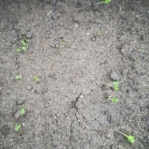 春菊、2回目コマツナ、チンゲンサイ、カブ、レタスが発芽