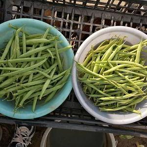 インゲン、ピーマンを大量収穫