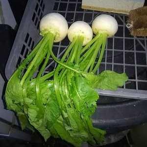 この時期の白菜の防除はテデトールがいいかも