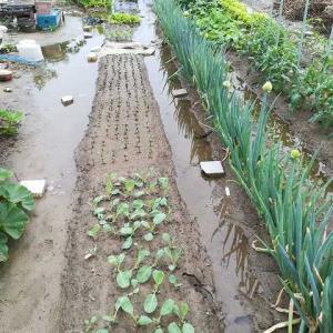 雨のためニンジン、大根を収穫
