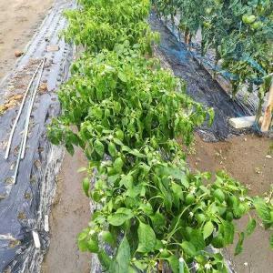 水の影響でピーマン類、脇芽トマト類萎びています