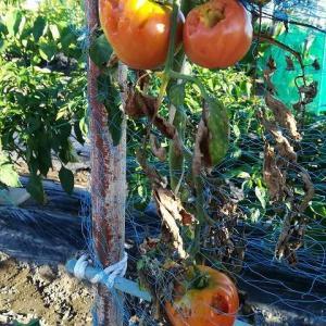 トマトがハッカチョウに食害されてしまいました