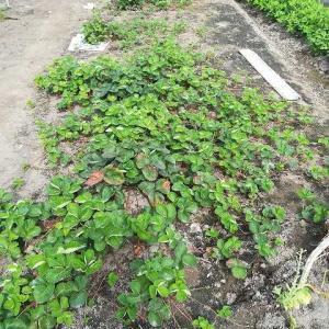苺苗の整理