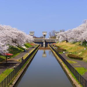 快晴の鷲ノ木桜遊歩道公園で桜を撮ってきたお話