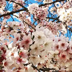 桜に癒やされた〜