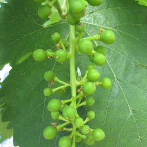 ブドウの実が大きくなってきたので房を整えるために粒わきをしました