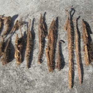 自然薯の栽培体験記