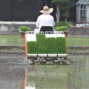 雨でも晴でも2回目の田植えをします