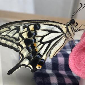 アゲハチョウが羽化した(*´-`)