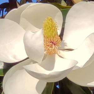 アメリカ南部の夏の花「マグノリア(Magnolia)」はミシシッピの州花です