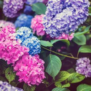 梅雨に彩花