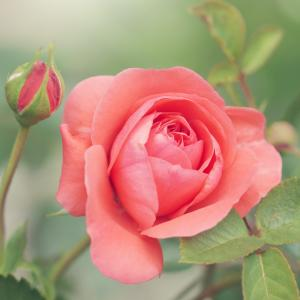 薔薇をならべて(30)