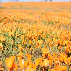antelope valley poppy reserve*
