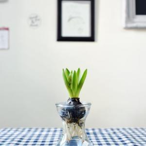 Hyacinth*