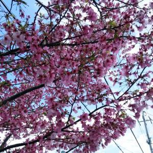 桜も寂しそうです