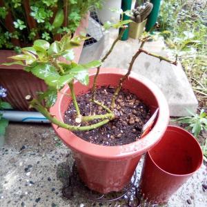 園芸日記 バラ サハラ'98植え替え
