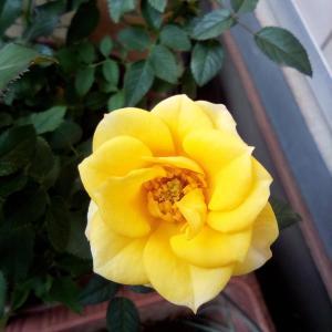 園芸日記 バラの経過
