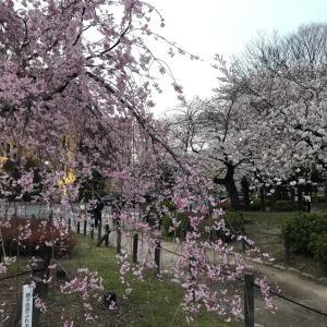 夕桜見物❣️