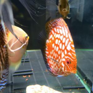 6匹目 熱帯魚の王様ディスカスを飼育してみた!