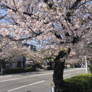 ちょっとした用事でも春を感じれる?さくら通りの桜が満開になってきました