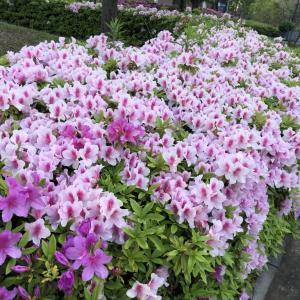 浦安市の花「ツツジ」が綺麗な季節になってきました。