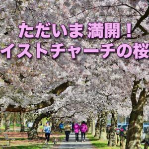 ただいま満開!クライストチャーチの桜並木