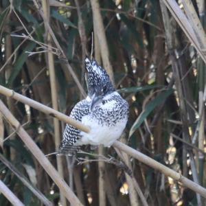 ソコヌケニアカルイ 日本の野鳥シリーズ:ヤマセミ