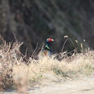 ソコヌケニアカルイ 日本の野鳥シリーズ:キジ