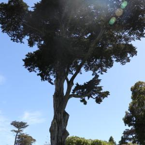 ソコヌケニアカルイ サンフランシスコのボタニカルガーデン