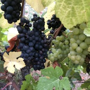 ソコヌケニアカルイ 葡萄畑と葡萄の収穫inベイエリア