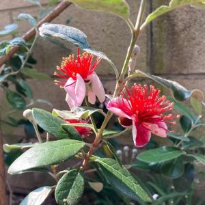 ファイジョアの花が咲き始めました