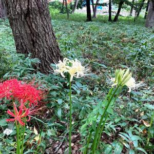 彼岸花が咲き始めました