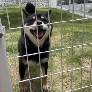 保護犬を飼って分かった難しさ。繁殖屋からレスキューされた柴犬めしうまを飼う