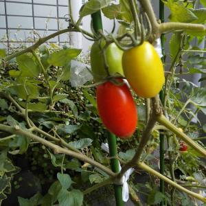 細長ミニトマトの収穫と葡萄の掛軸、そして抗体検査