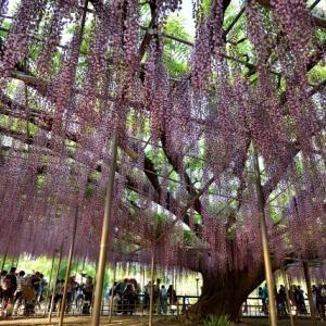 風に揺れる紫の藤。ふじの花、関東おすすめデートスポット7選