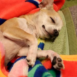 ふく、人間のように横になって寝る