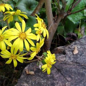 実家の庭でツワブキが咲いていました