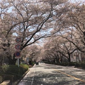 20年ぶりに見た日本の桜