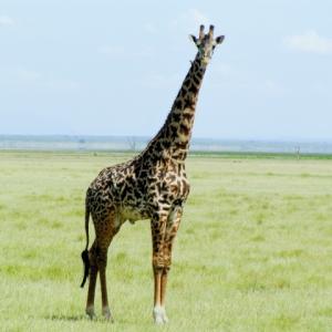 【衝撃】まさかのキリンの頸椎の個数。動物園で使える雑学。