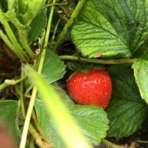 イチゴとボランティア花壇への植え込み