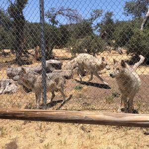 オオカミを見てきたよ!California Wolf Center
