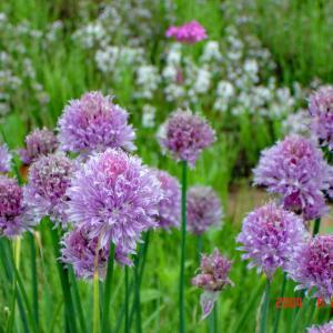 野の花「ネギの花?」