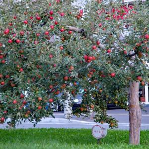 道のリンゴ